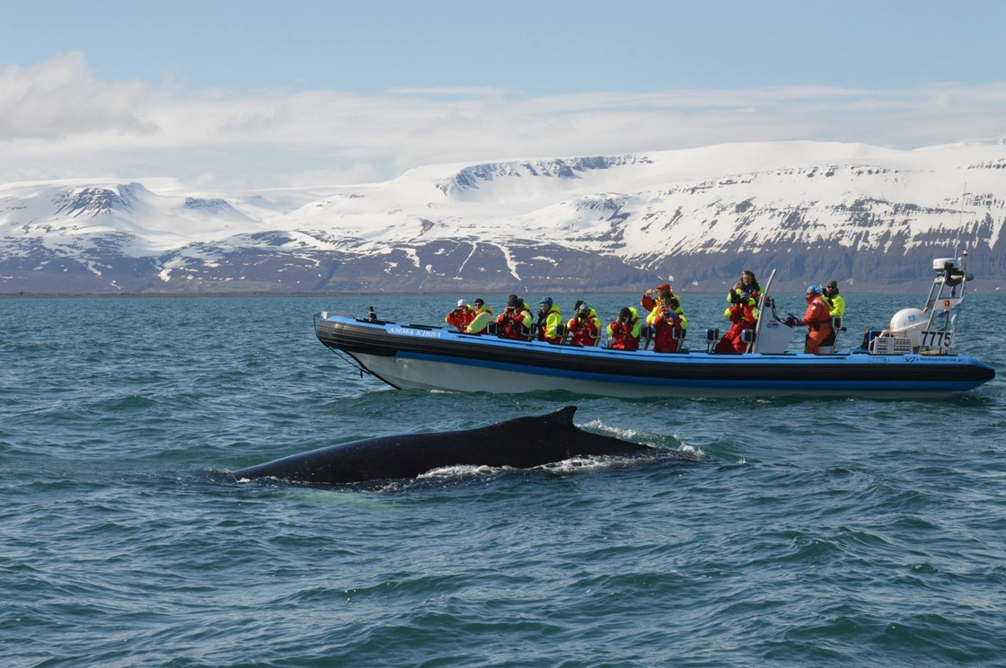 super friendly humpback whales gentle giants whale watching
