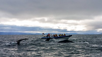 three humpbacks leaving for dive
