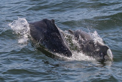 two humpback dolphins